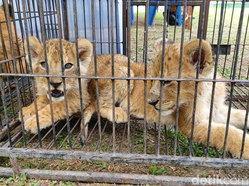Polisi Selidiki Identitas Pemesan Anak Singa