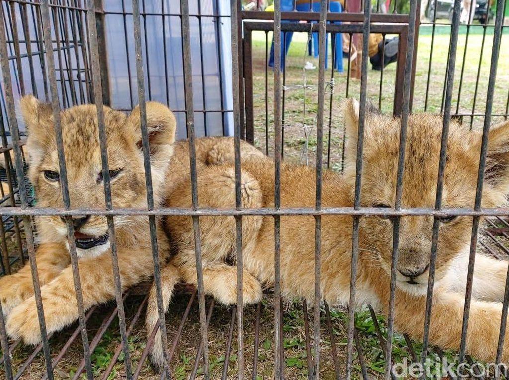 Diselundupkan ke Indonesia, Siapa Pembeli Simba?