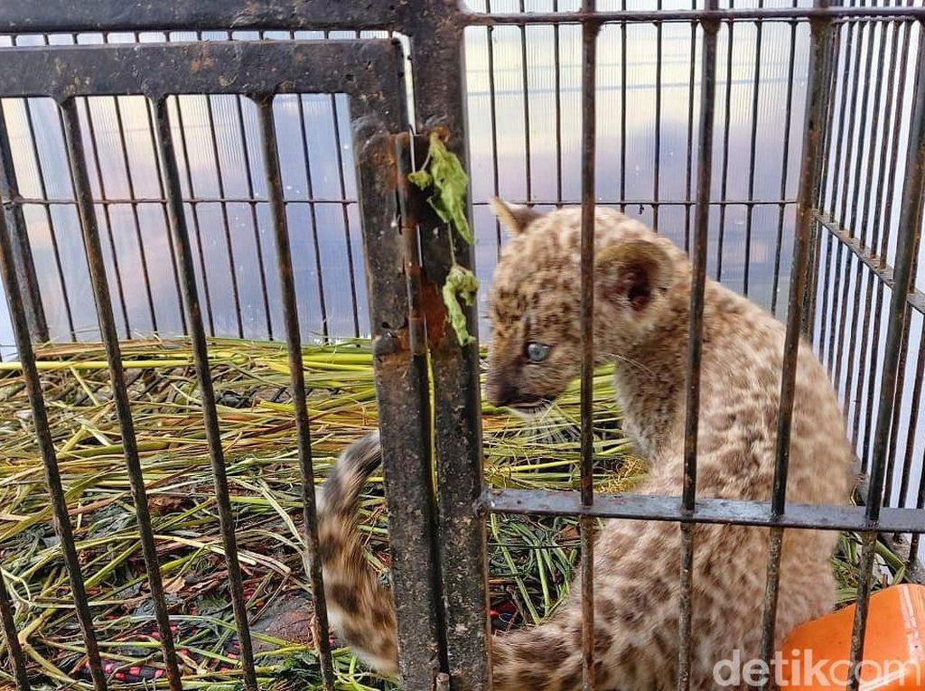 Perawatan Tak Memadai, Bayi Macan Tutul Selundupan Mati di Pekanbaru