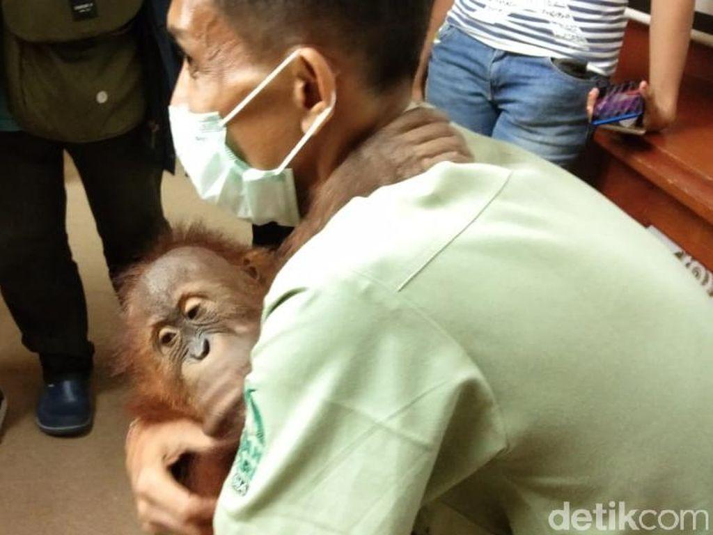 BKSDA Bali Bawa Orang Utan Selundupan WN Rusia ke Sumatera