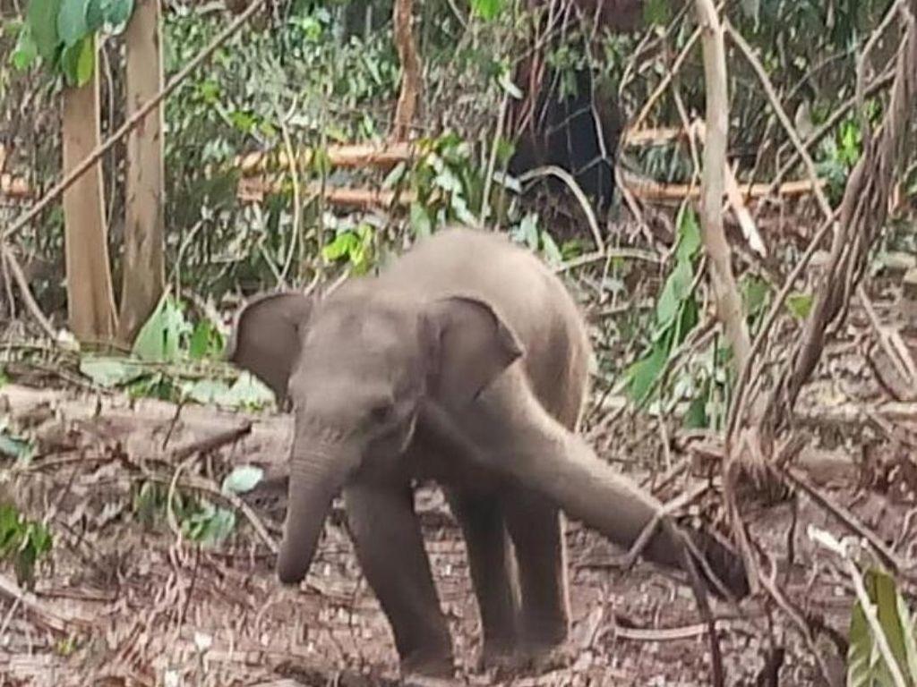 Anak Gajah Terjerat di Hutan Industri Riau, Satu Kaki Terangkat