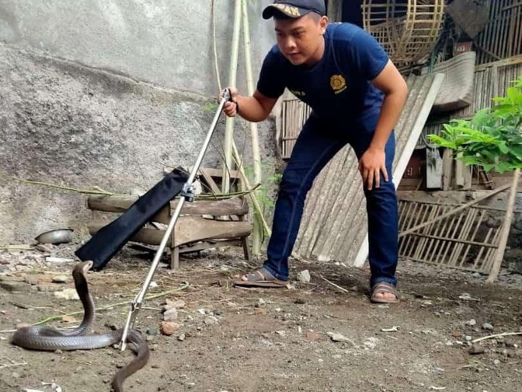 Bikin Kaget! Ular Kobra Muncul di Pekarangan Rumah di Bantul