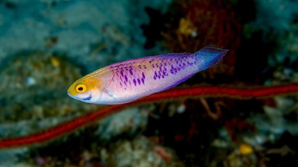 Foto Ikan Wakanda yang Sungguhan Ada
