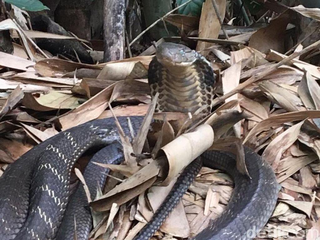 Lagi, Warga Temukan Induk Kobra dan 44 Telur di Tabanan Bali