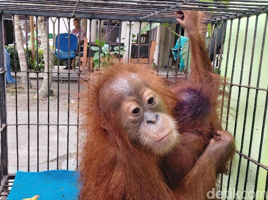 Kasihan! Anak Orang Utan Ini Ditemukan Lemas di Pekanbaru