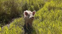 Orang Jawa Bajak Sawah Pakai Sapi, di Papua Pakai Babi