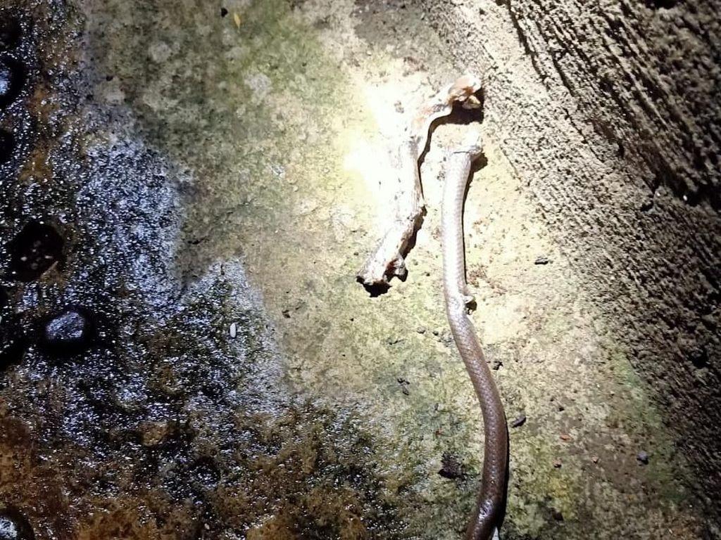 Warga Ciracas Bunuh Anak Kobra yang Ditemukan di Plafon Rumah