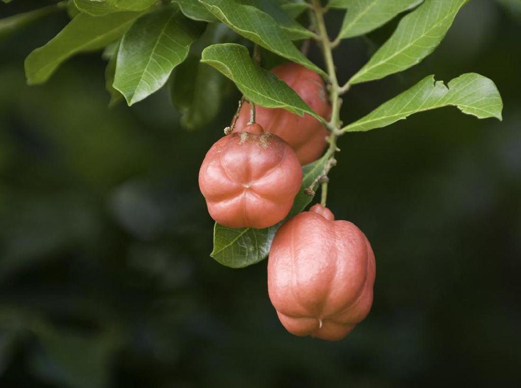 Fakta Unik Buah Ackee yang Beracun Tapi Jadi Makanan Pokok
