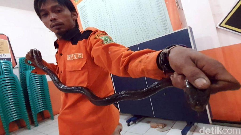 Ngeri! Ular Sanca dan Kobra Diamankan di Sukabumi