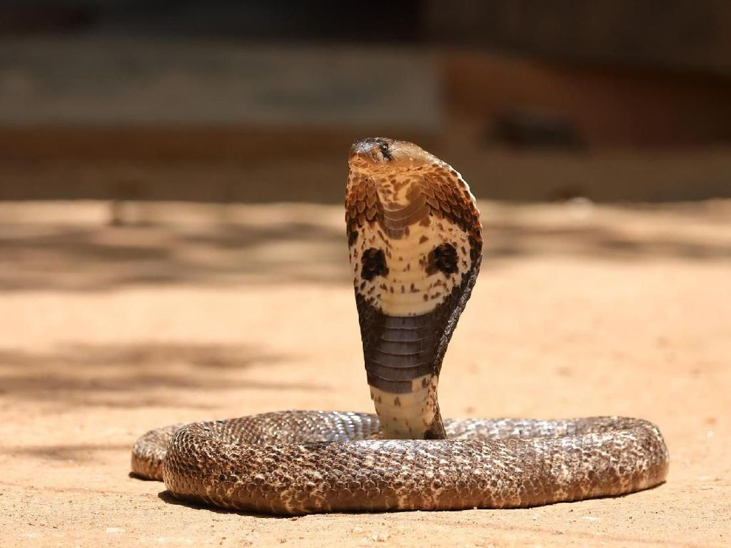 Potret 10 Jenis Kobra Paling Berbahaya di Dunia