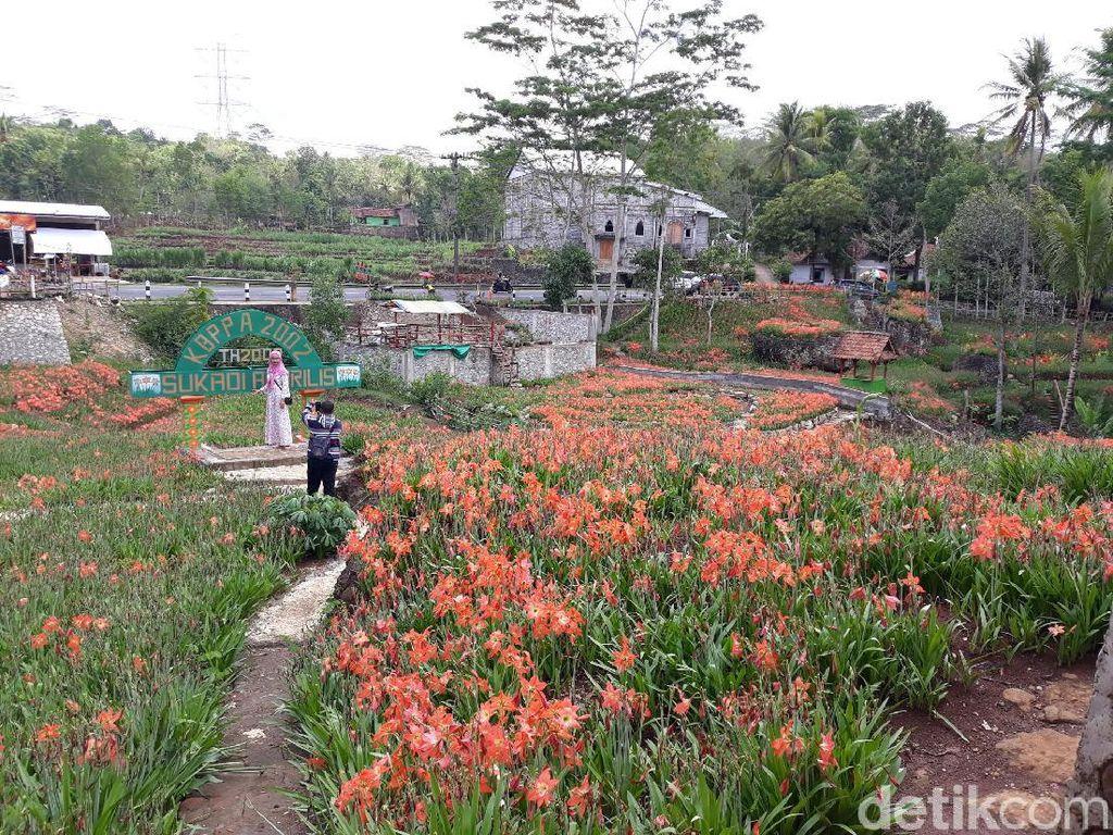 Jelang Nataru, Pengunjung Kebun Amarilis Gunungkidul Turun 50%