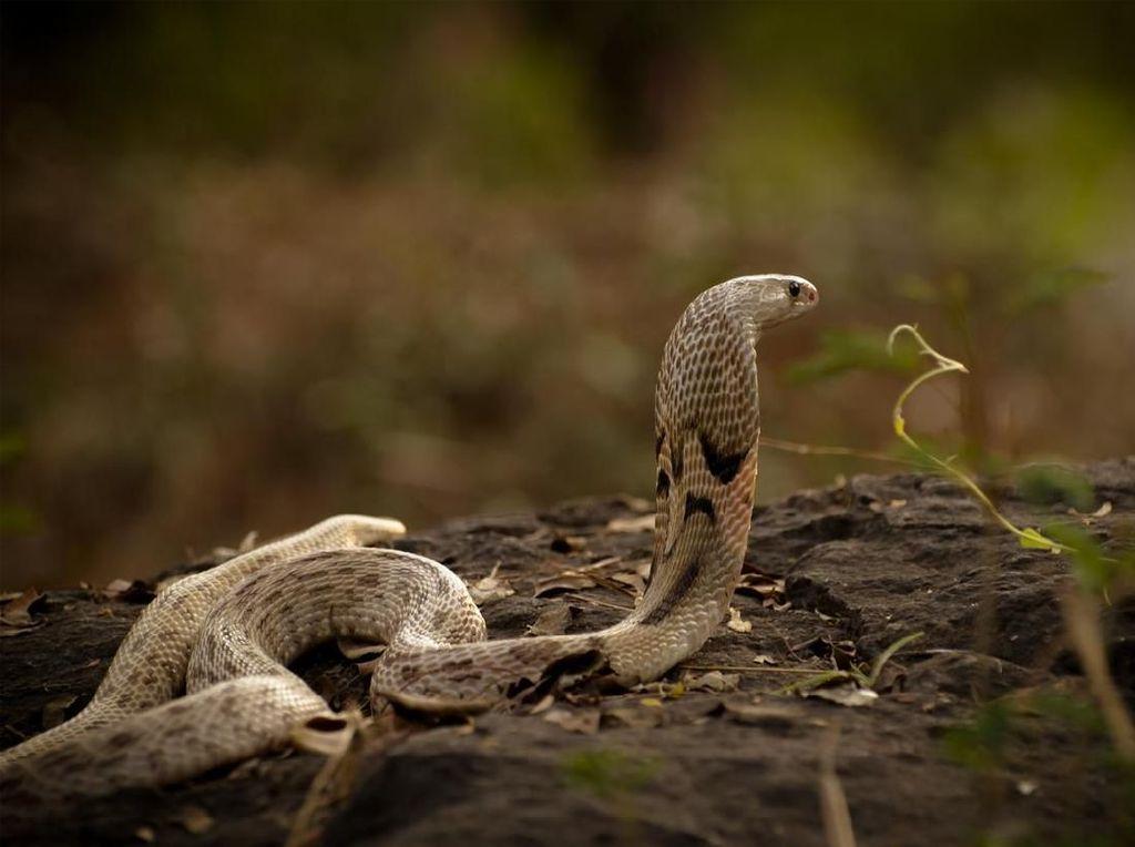 Kena Semburan Bisa Ular Kobra, Ini Efeknya pada Kulit Sehat Maupun Luka