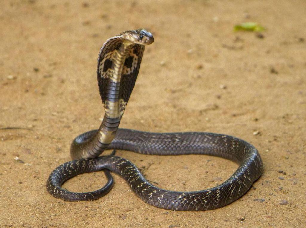 Keji! Pria India Bunuh Istrinya dengan Lepaskan Ular Kobra di Kamar