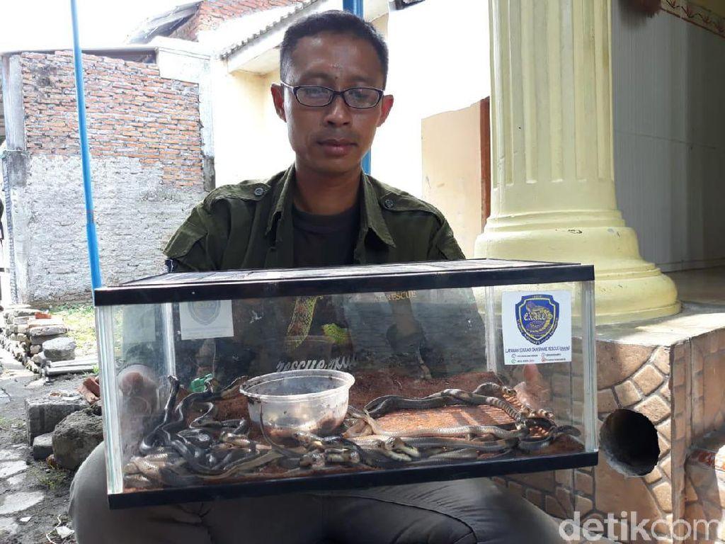 31 Anak Kobra Ditemukan di Masjid Sukoharjo, Dari Mana Asalnya?