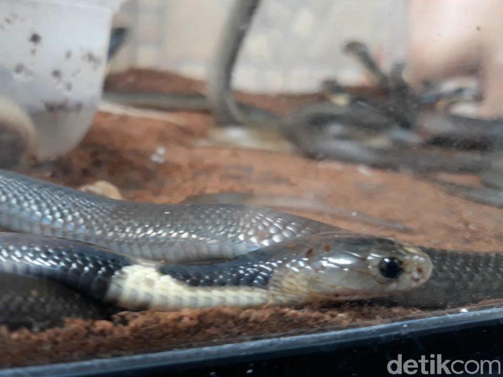 Setelah Suntik Serum, Ini Tips Bantu Pemulihan Usai Digigit Kobra