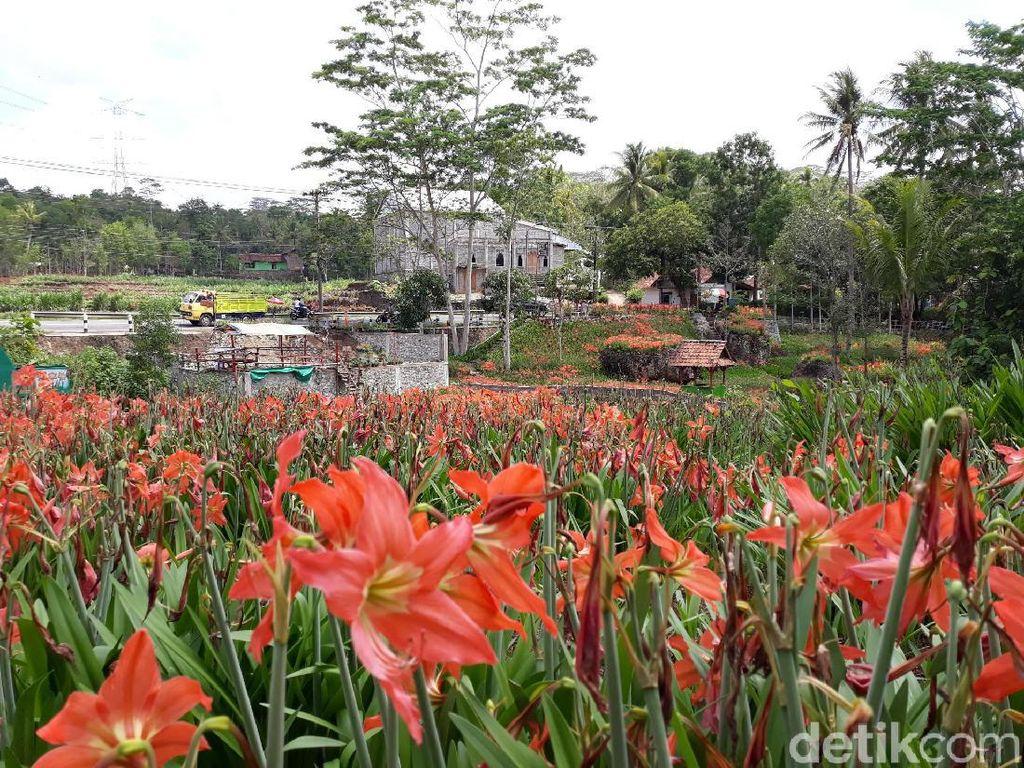 Foto: Kebun Bunga Amarilis Gunungkidul yang Tetap Menarik