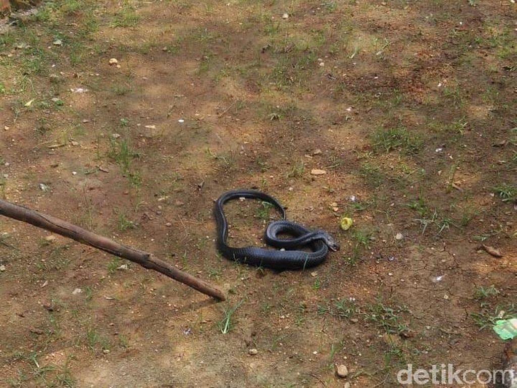 Ular Kobra Muncul, Bikin Kaget Warga di Lebak