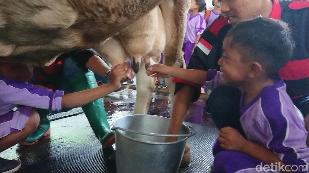 Foto: Liburan Akhir Tahun Seru di Kampung Susu
