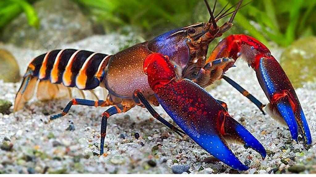 Warna-warni dan Mengilap, Ini Lobster Cantik dengan Harga Selangit