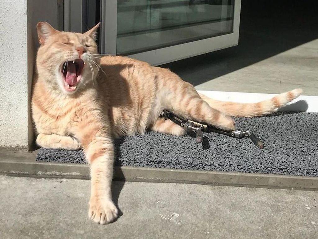 Kecelakaan, Kucing Ini Pakai Kaki Bionik