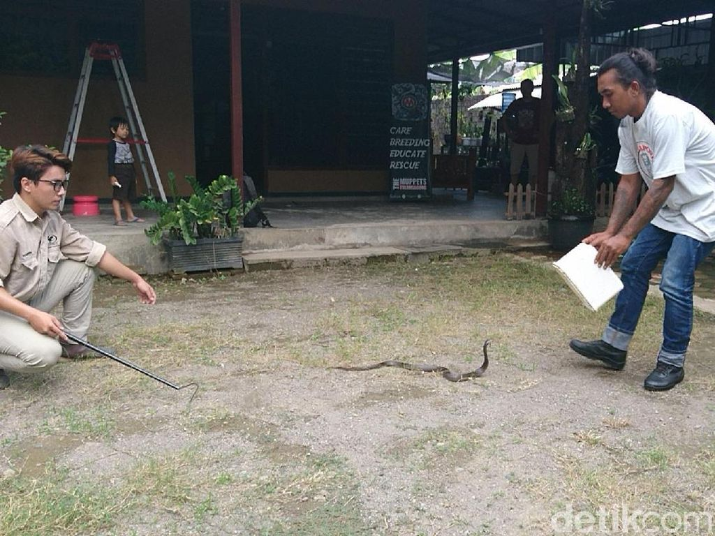 Begini Cara Evakuasi Ular Kobra yang Masuk Rumah dan Perkampungan