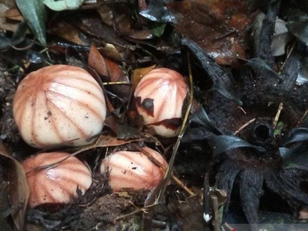 Bunga Langka Rhizanthes Lowii Ditemukan di Danau Maninjau Sumbar