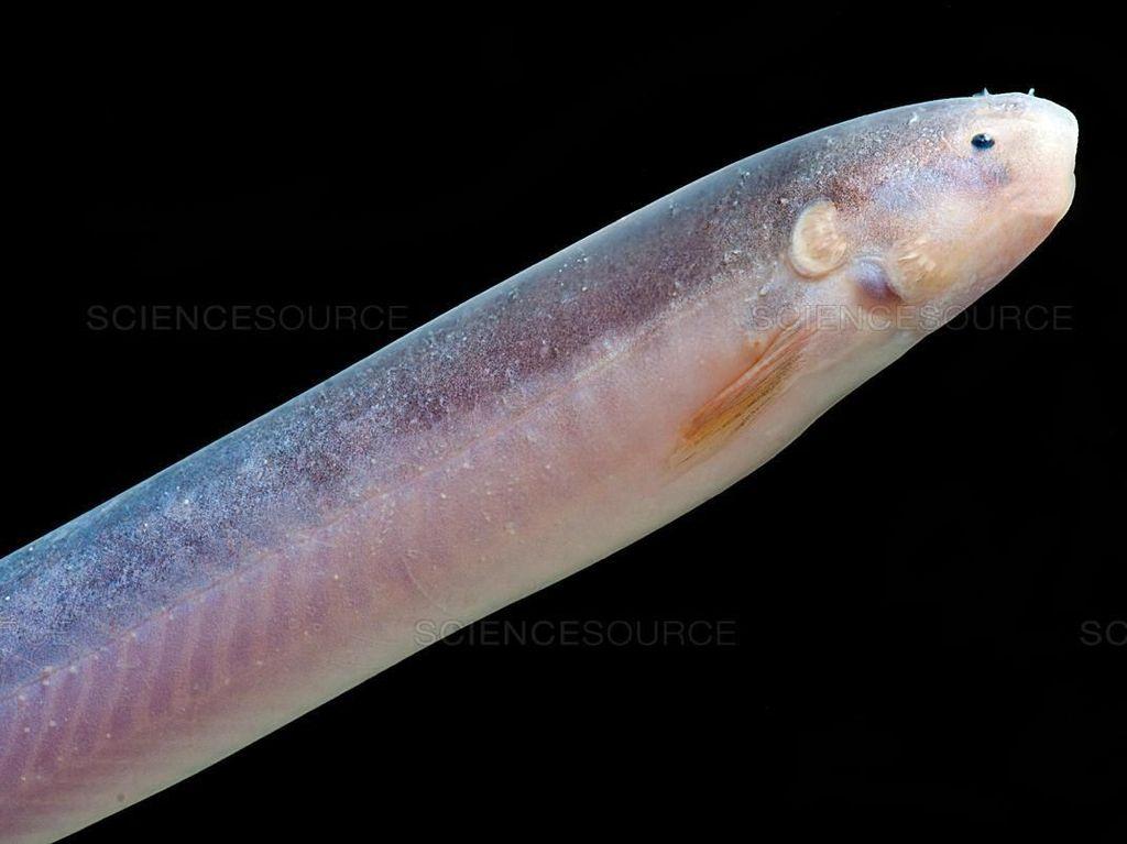 Ikan Paling Berbahaya, Makan Penis Manusia