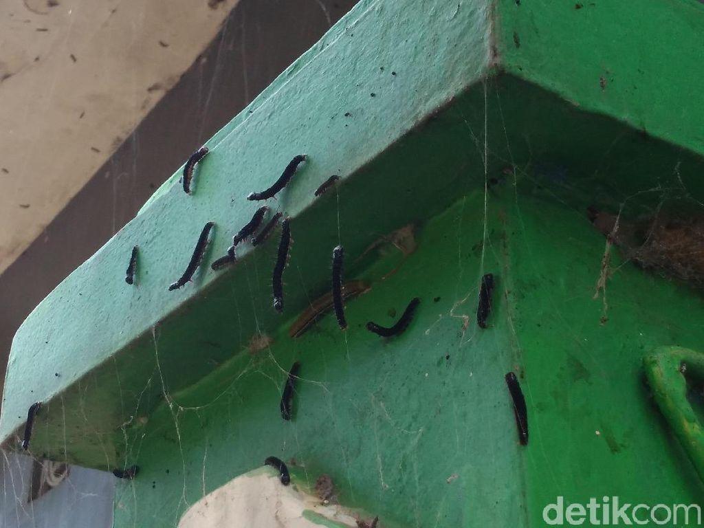 Teror Ulat Bulu Meluas, Warga Cirebon Siapkan Sapu-Detergen