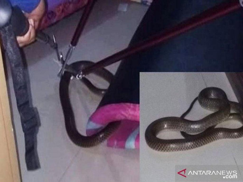 Bikin Kaget! Kobra 1,5 Meter Masuk ke Kamar Tidur Warga Sampit