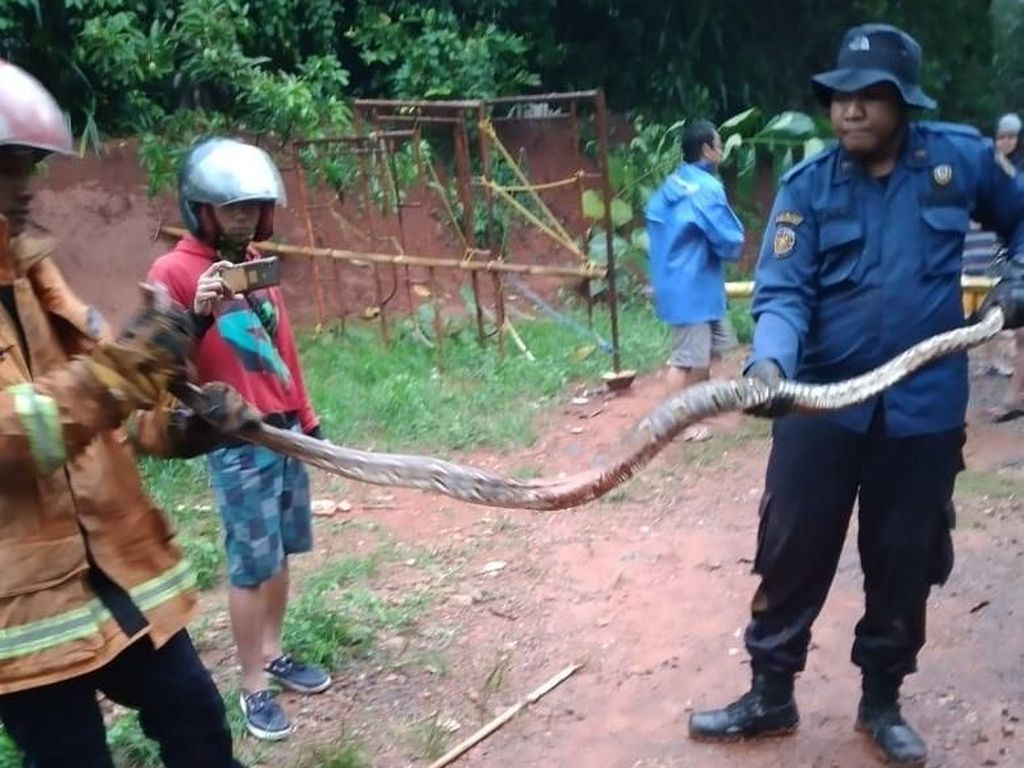 Ular Sanca Batik 2 Meter Ditangkap di Perumahan Warga Bogor