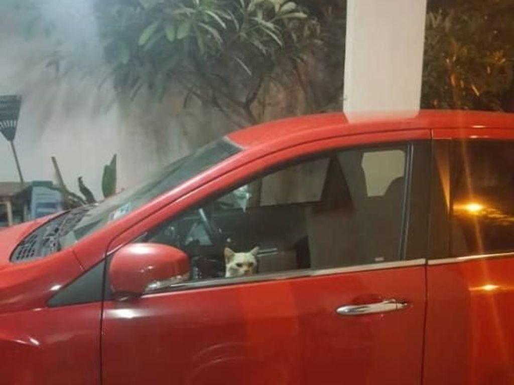Terjebak di Mobil, Kucing Oyen Curi Perhatian Pakai Lampu Hazard