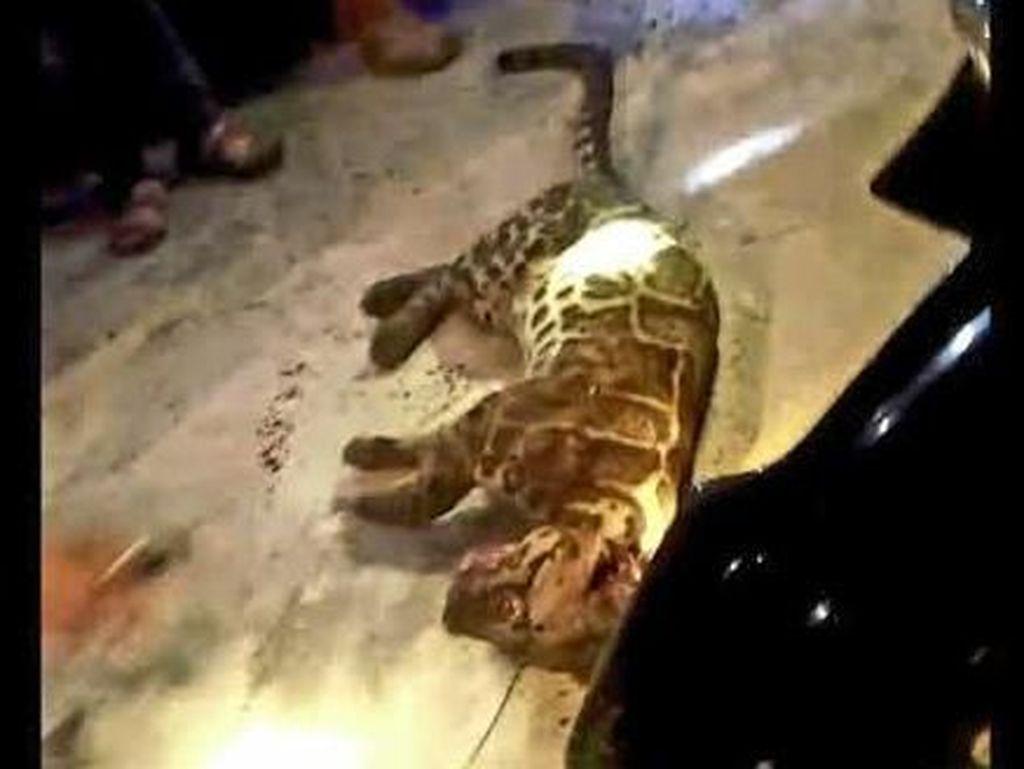 Duh, Macan Dahan Mati Ditembak Warga di Jambi