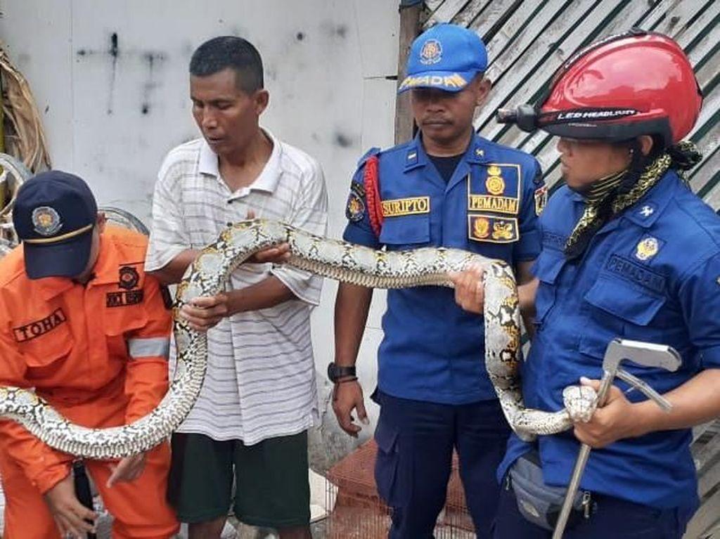 Sanca Kembang 3 Meter Ditemukan di Kampung Kalimati Jakbar