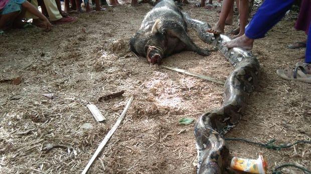 Ular piton itu sempat menelan babi hutan.