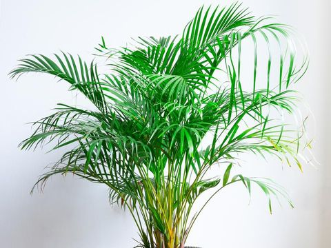Areca Palm, Chrysalidocarpus lutescens, in a wicker basket, isolated in front of a white wall on a wooden floor
