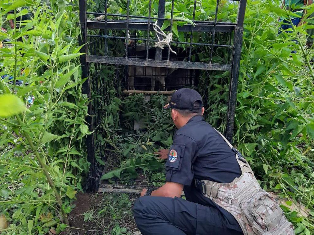 Plt Bupati Muaraenim Minta Harimau Ditangkap Hidup atau Mati, Ini Kata BKSDA