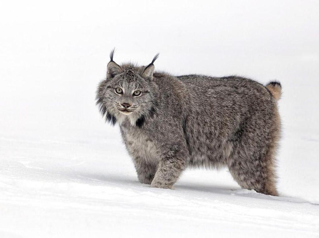 Foto: Kucing Berjenggot yang Galak