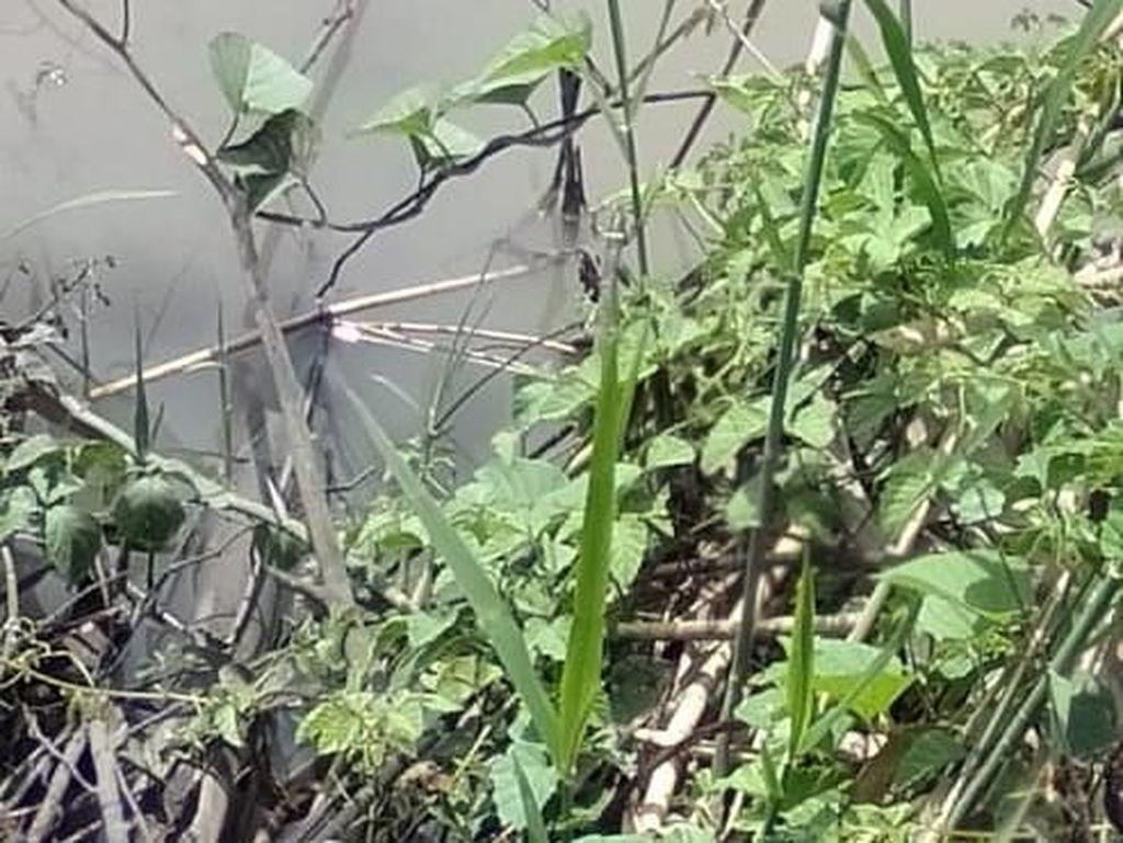 Buaya yang Muncul di Sungai Wedoro Sidoarjo Tertangkap