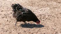 Belanda Musnahkan 190 Ribu Ekor Ayam Setelah Temukan Wabah Virus