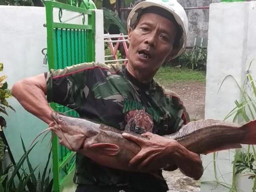 Warga Pitara Depok Tak Sengaja Tangkap Lele Jumbo Saat Hujan Deras