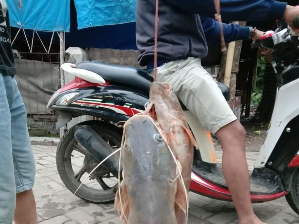 Lebak Diterjang Banjir Bandang, Warga di Hilir Rebutan Ikan Mabuk