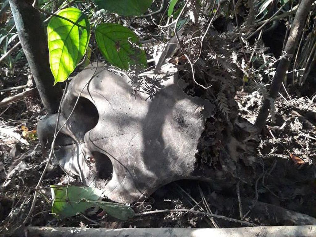 2 Tengkorak Gajah Liar Ditemukan di Aceh, Diduga Mati Tersetrum