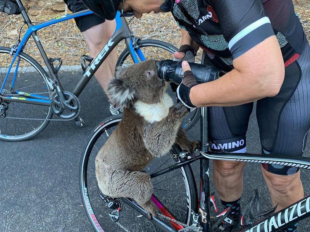 Viral, Pesepeda Beri Minum Koala yang Kehausan