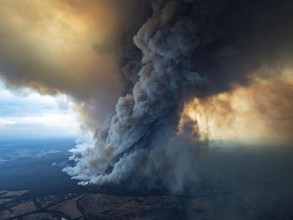 Australia Selamatkan Pinus Purba dari Kebakaran Hutan