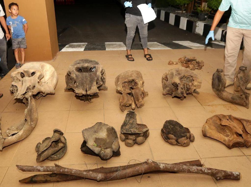 Penampakan Tulang Gajah Sumatera yang Diduga Mati Tersetrum