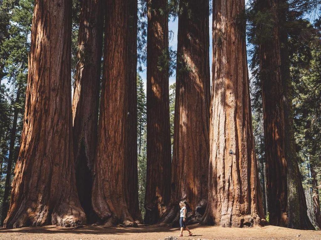 Pria Ini Tewas Terhantam Pohon Tumbang Setinggi 61 Meter