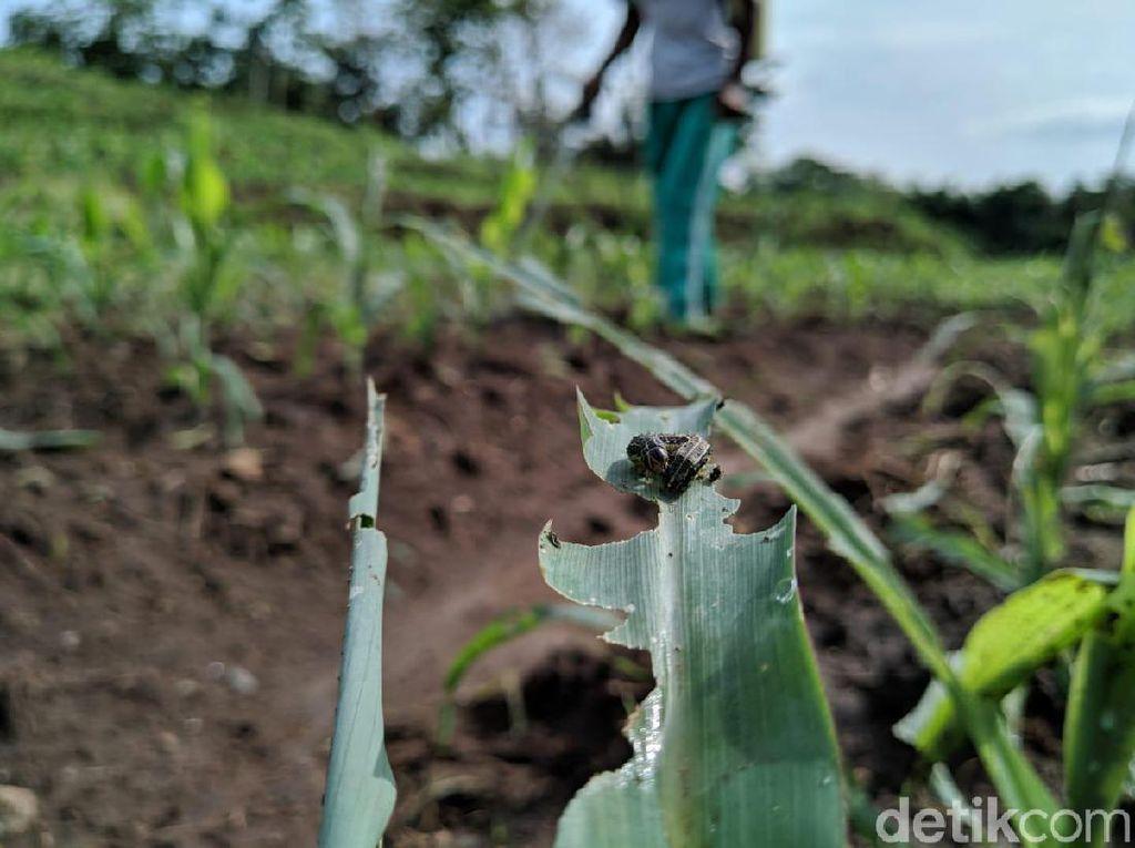 Dinas Pertanian Ponorogo Sebut Iklim Jadi Penyebab Ulat Grayak Serbu Tanaman