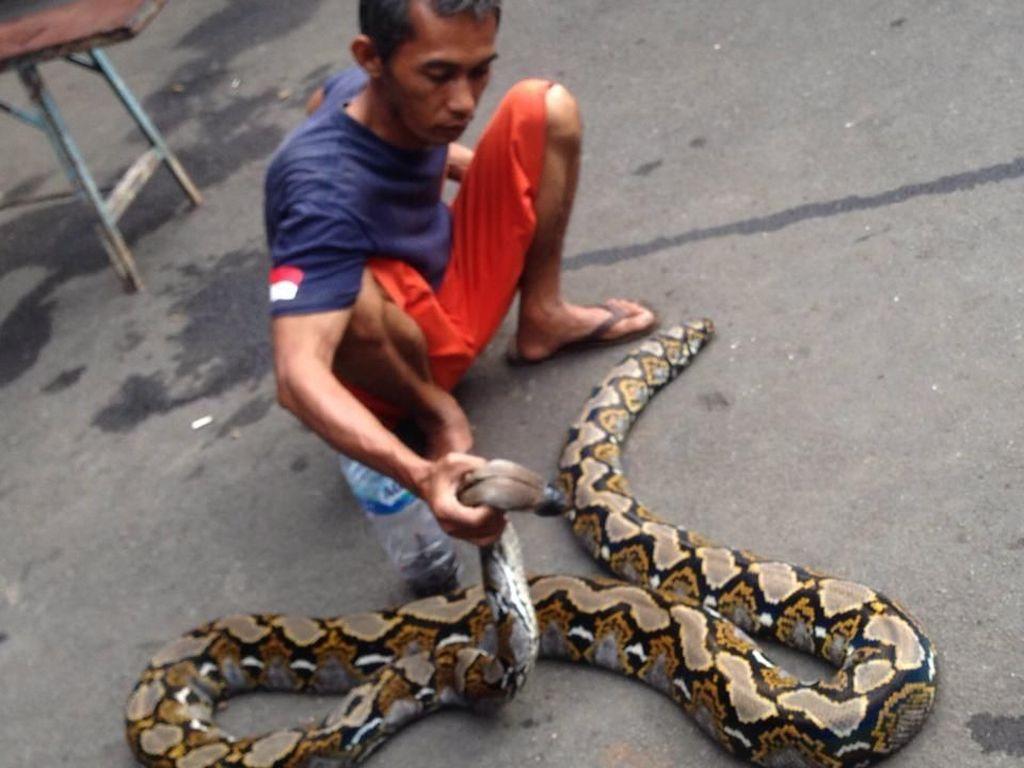 Ngeri! Ular Piton 4 Meter hingga Kobra Ditemukan di Tengah Banjir di Bekasi
