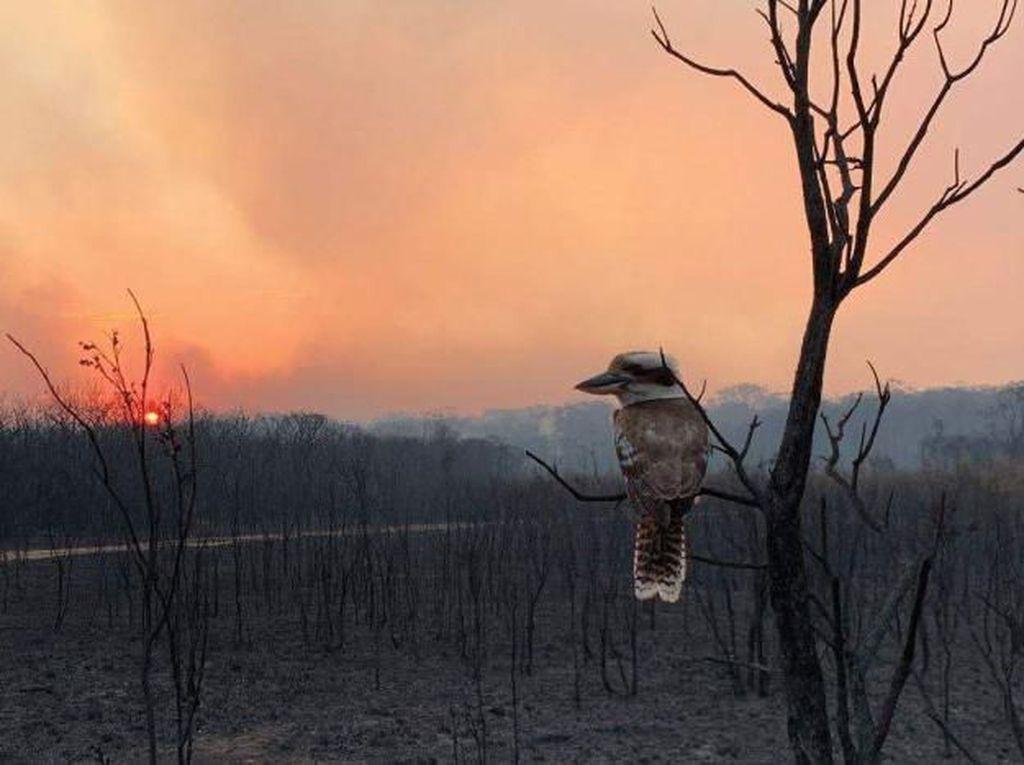 Kerusakan Parah di Pulau Kanguru Akibat Kebakaran Hutan