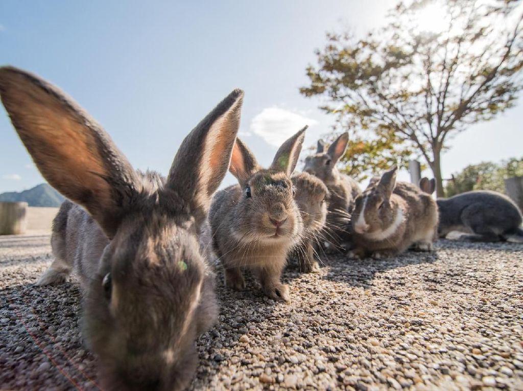 Potret Kelinci Imut Penghuni Pulau Pembuatan Senjata Kimia